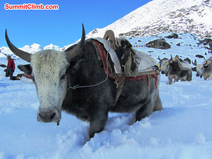 Yaks in deep snow at Ama Dablam basecamp. Mark van 't Hof photo