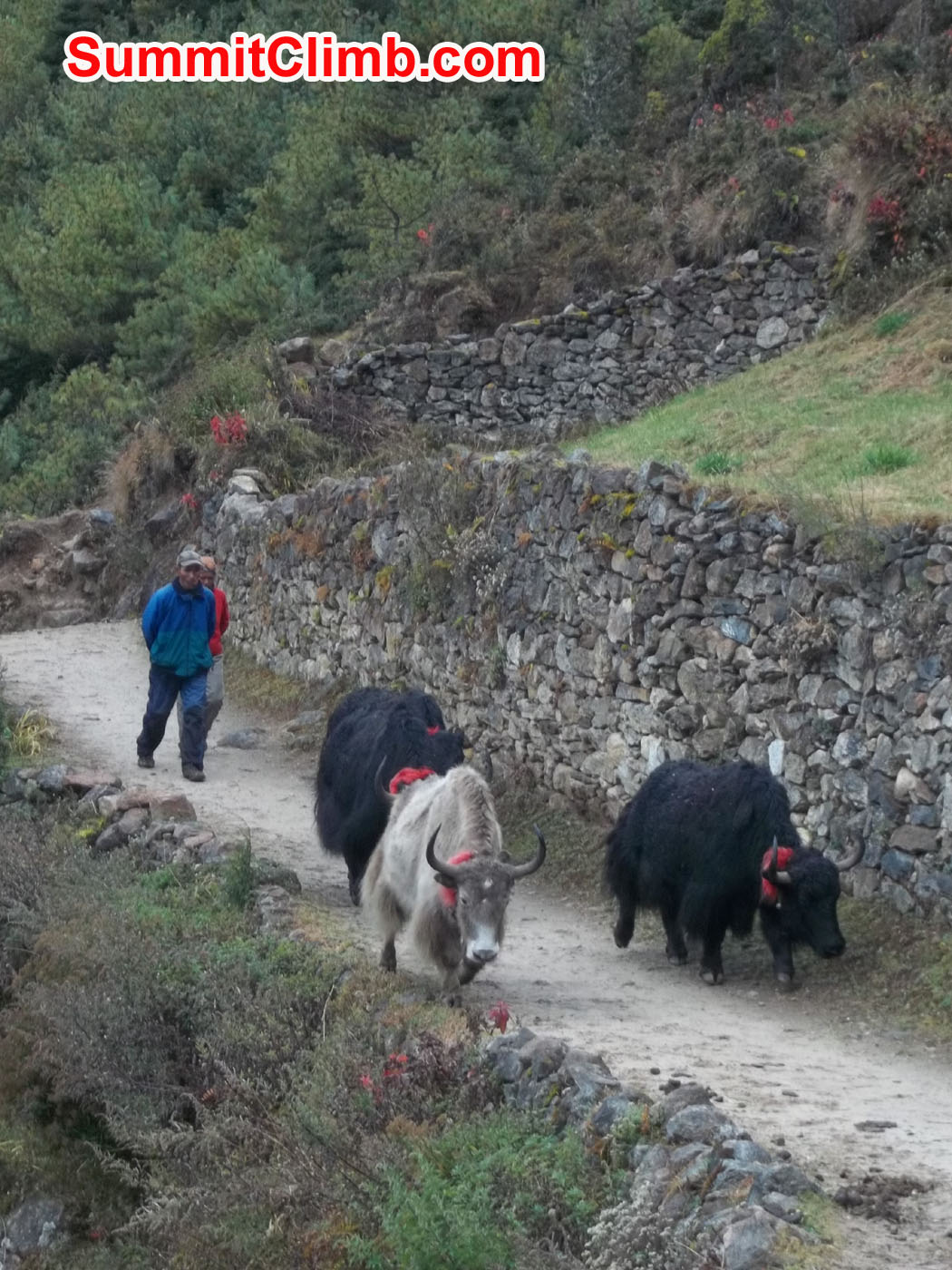 Yak drivers with Yaks