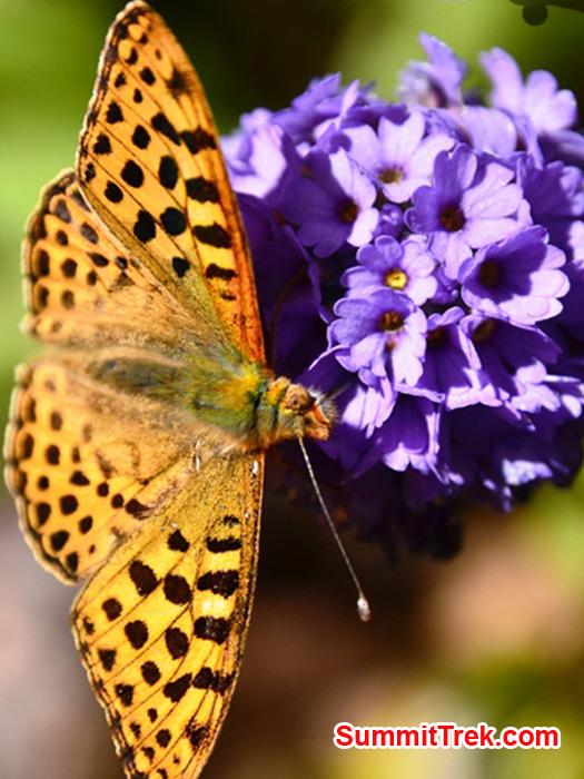 Golden butterfly on a purple flower near Kote Village. Photo by Michael Moritz