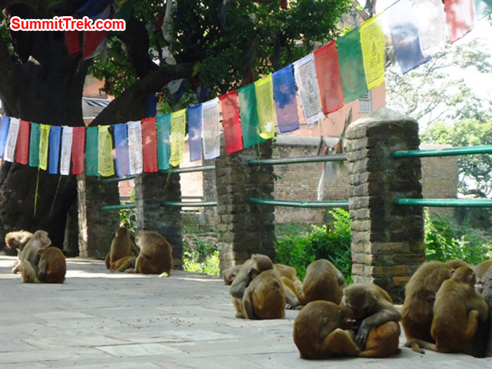 A monkey clan grooms one another beneath prayer flags at the monkey temple in Kathmandu. Photo by Carla Strong