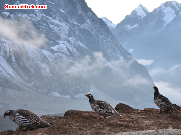 Kongma birds, aka Himalayan snow pheasants, dining out in Kare. photo by Michael Moritz