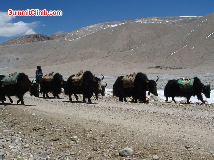 Yaks are in Basecamp to load the expedition loads. Photo Christina Kristensen