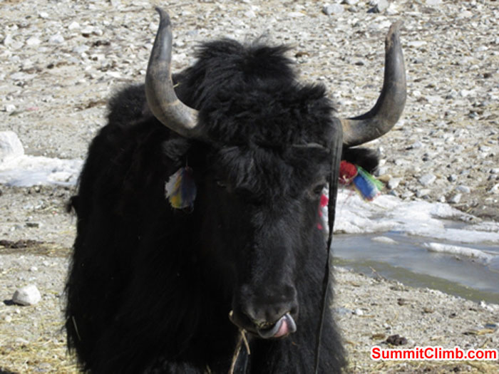 Yaks in Base Camp. Photo ohn Martersteck