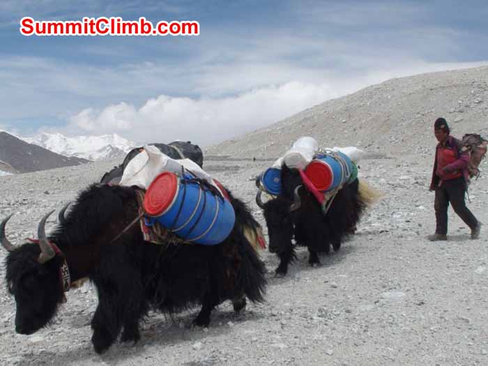 Yaks on the way to ABC. Photo Angel