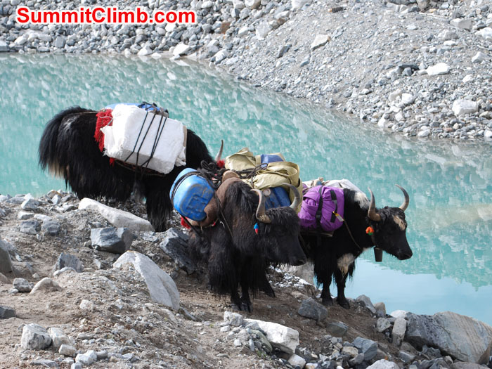 Yaks near to glacier lake. Photo Ry