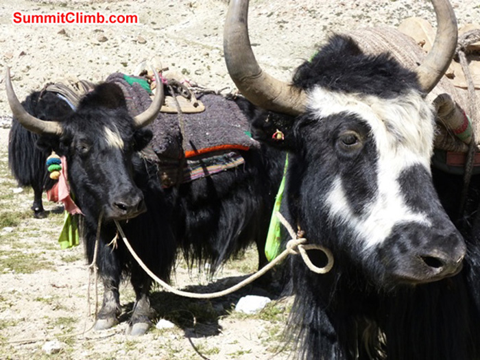 Yaks in basecamp. Jan-Jilles VanderHoeven Photo