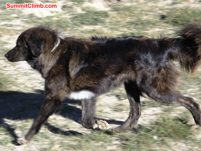 Tibetan Dog runs for her supper in Gyepla. Matti Sunell Photo