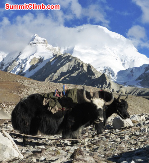 Yaks in front of a cloud bedecked Mount Cho Oyu, the 'Turquoise Goddess'. Photo by Juergen Landmann