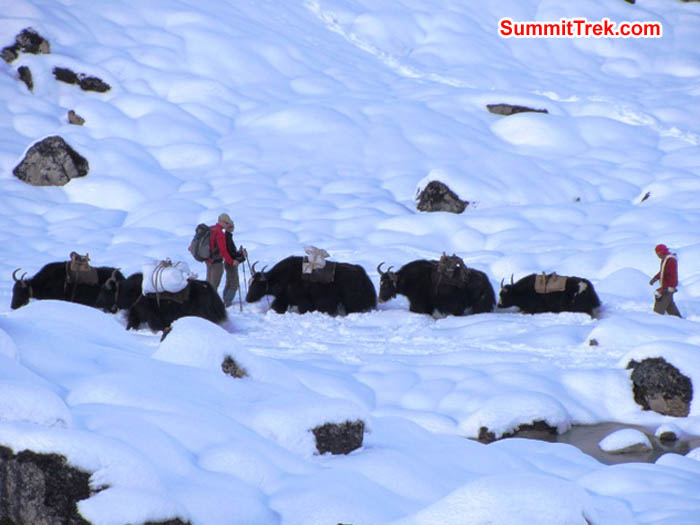 Yaks, drivers, and trekers in deep snow on the way to basecamp. Mark van 't Hof Photo