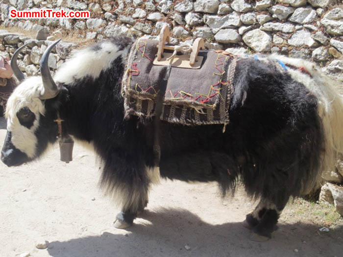 Yak wears a freshly repaired pack saddle. Hannah Rolfson Photo