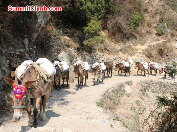 Donkey train on the trail to Everest. Elmo Francis Photo