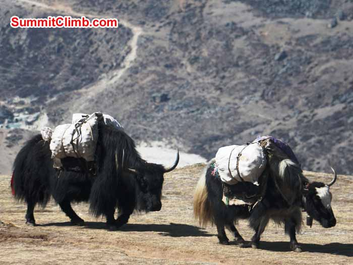Loaded Yaks in Orsho. Photo by Elmo Francis