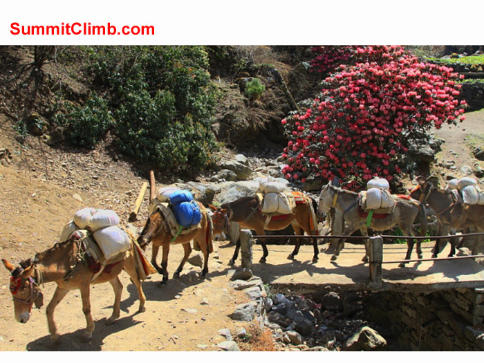 Donkeys cross a bridge near Lukla. Monika Witkowska Photo