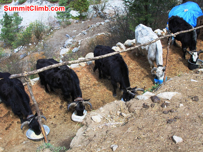 5 yaks enjoying a meal before getting to work. Monika Witkowska Photo.