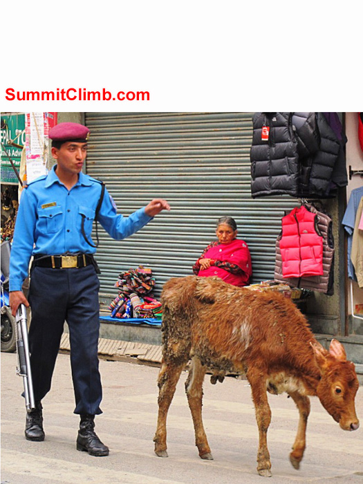 Policeman herding a cow in Kathmandu. Monika Witkowska Photo.