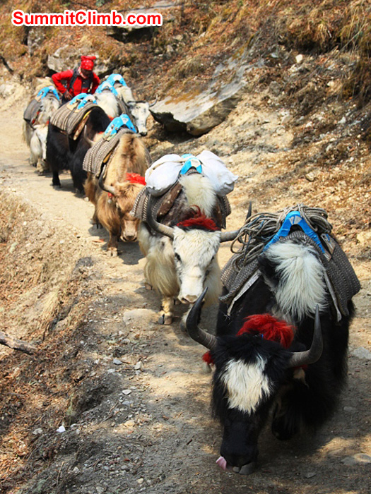 Yak train on the way to Deboche village. Monika Witkowska Photo.