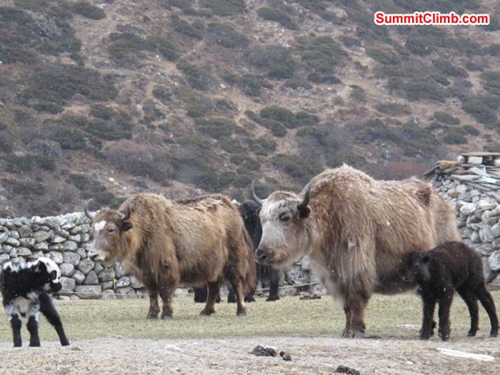 Yak babies and moms at Pheriche. Monika Witkowska Photo.