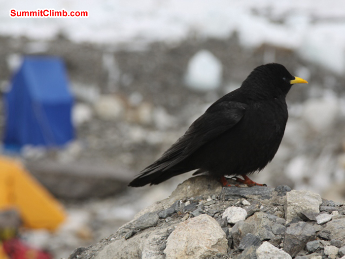 Pure black 'chuff' bird in basecamp with a blue toilet tent and a yellow sleeping tent in the background. Monika Witkowska Photo.