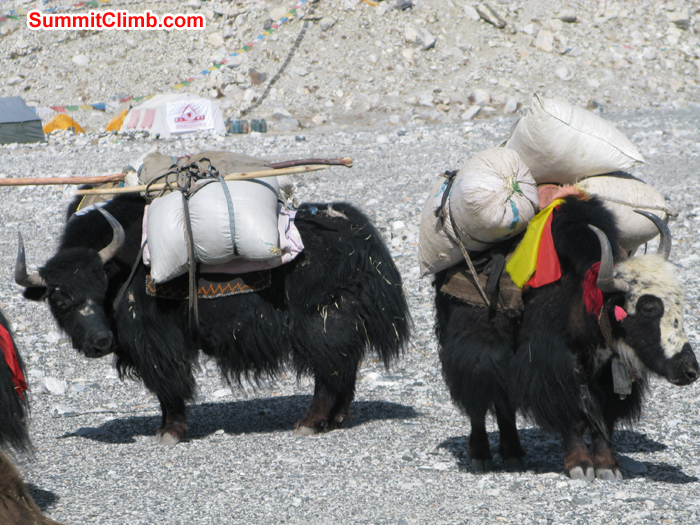 Yaks are ready to go ABC carrying grasses. Photo Rares Voda