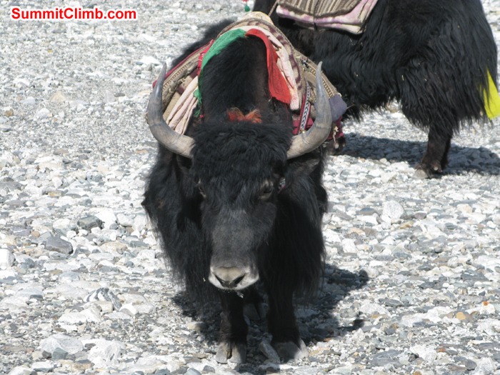 Yaks around the Chinese base for load the expedition loads. Photo Rares Voda