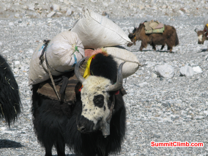 One of the strong Yak is ready to go with loads of food. Photo Rares Voda