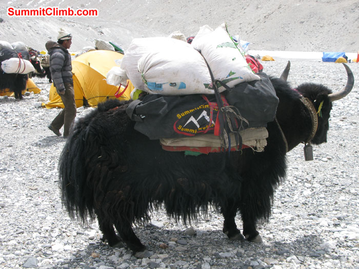 Yak ready to go ABC with loads. Photo Rikke.