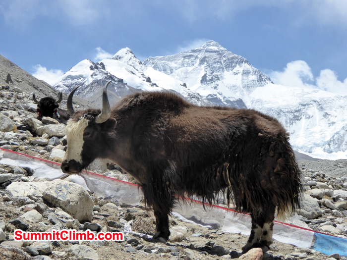 After load yak taking rest background Everest