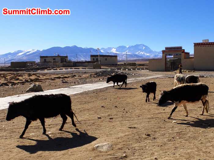 Cows make their way out to the fields for morning grass chomping. That is Cho Oyu in the background