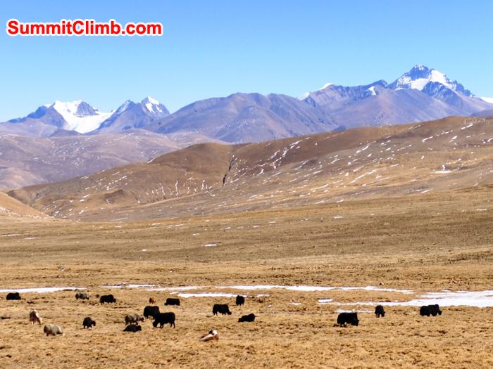 Lovely Yak studded valley on the drive out to the Tibetan Plateau