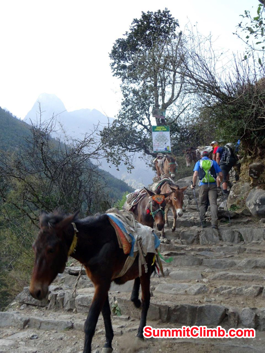 Mules going back to Luka after loading up. Photo Jeff Sorrel