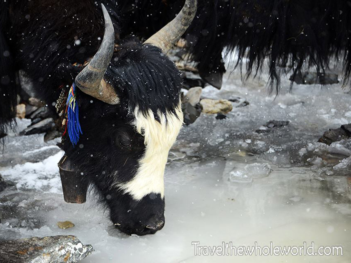 Yak drinking water from Ice