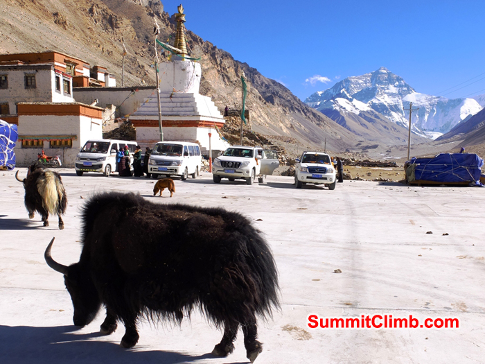 Yaks and dogs enjoy the car park at the Rongbuk Monastery