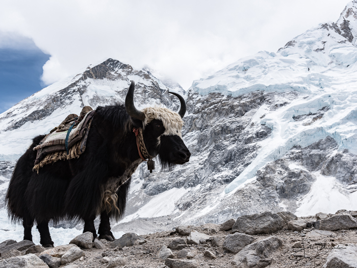 Yak at Everest Basecamp