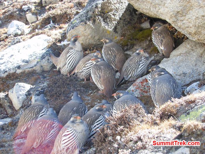 Mountain birds in Khumbu valley. Photo Tenji Sherpa