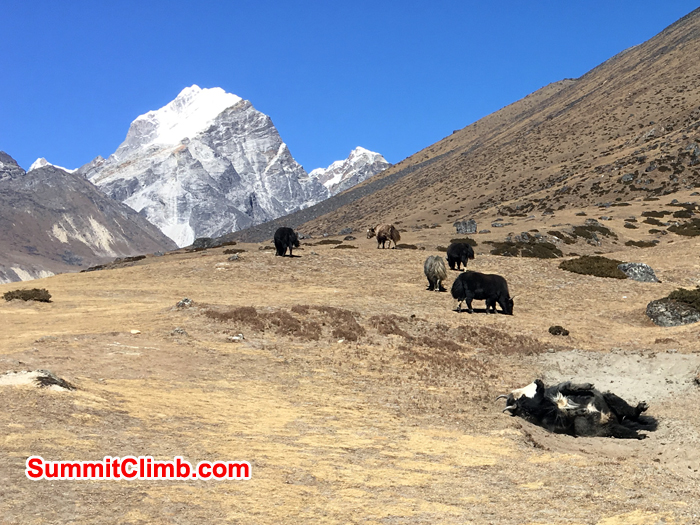 Yaks and lobuche mountain in background. Photo Andrew Turvey