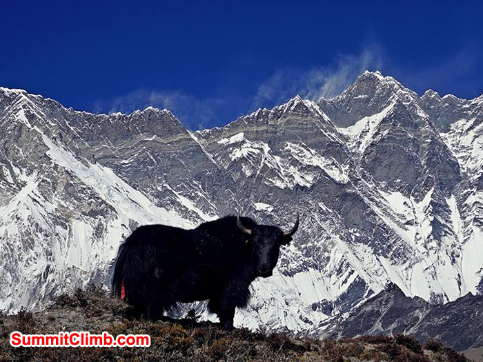 Yak and lhotse wall. Photo: Niels Kammerer