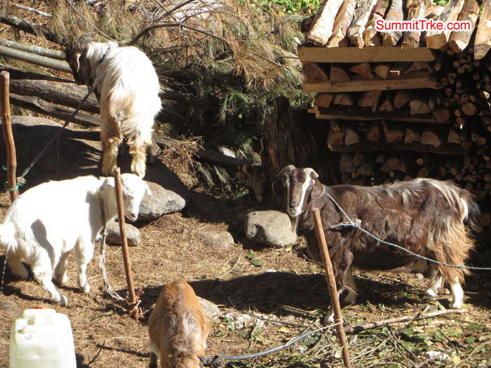 Farming animal as goat. Photo Aless.