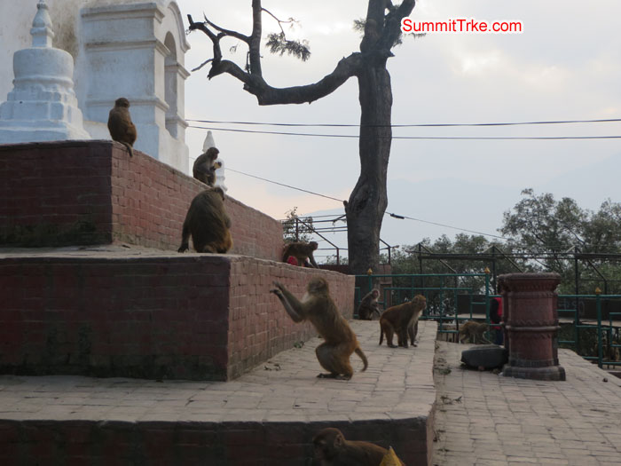 Monkeys are in Shoyambhu Nath. Photo Aless.