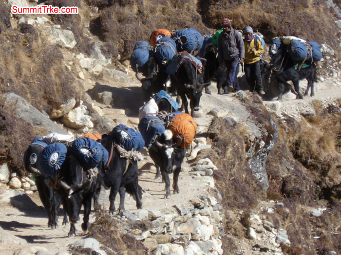 Jokiyos are use for carrying load in Khumbu vally. Photo Scott.