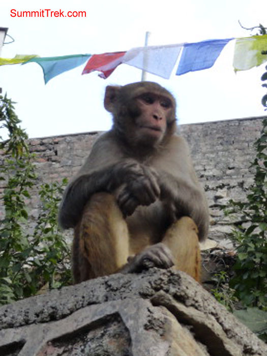 Monkey at Shoyambhu Nath. Photo Darek