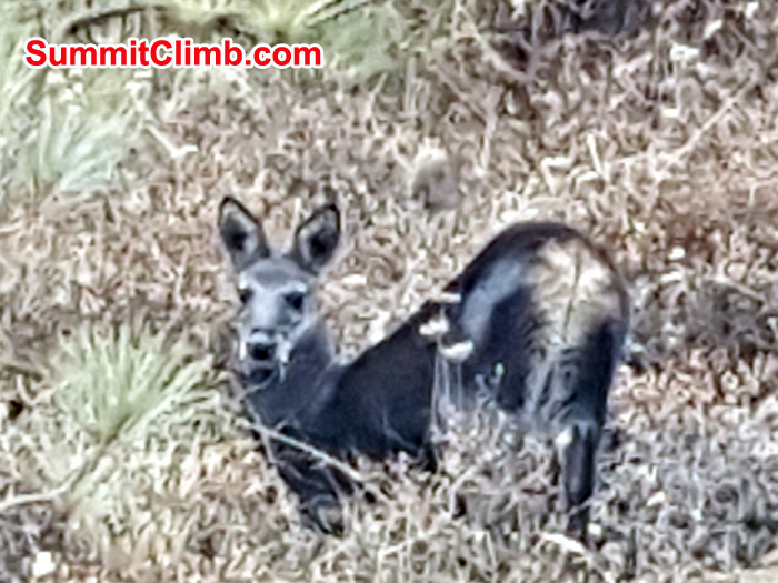 Musk deer near Diboche hill. Photo Pedro Llanos