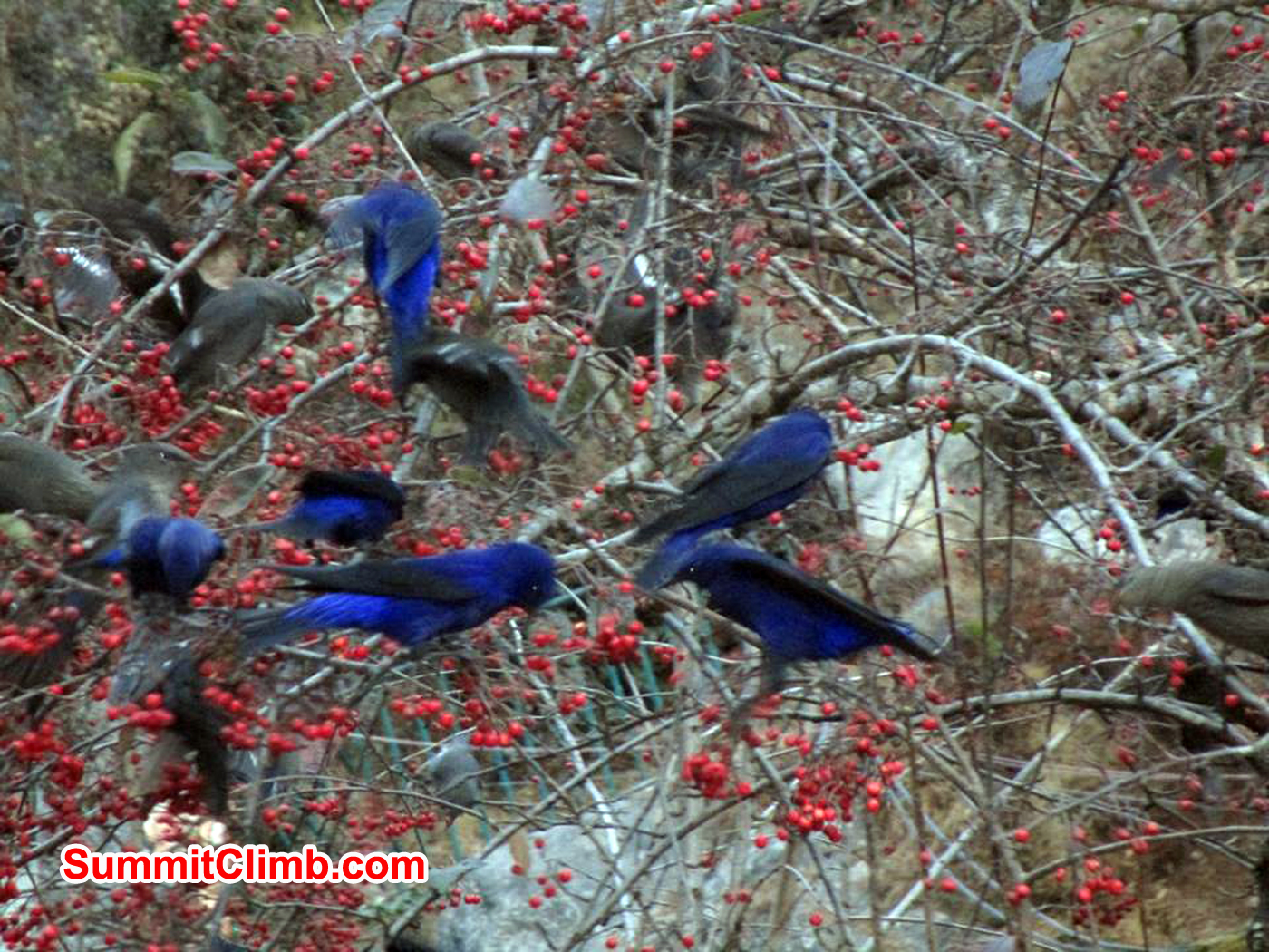These were crows of some sort, who kept flying up and down the valley, taking these berries back with them. Photo Meryl Lipman