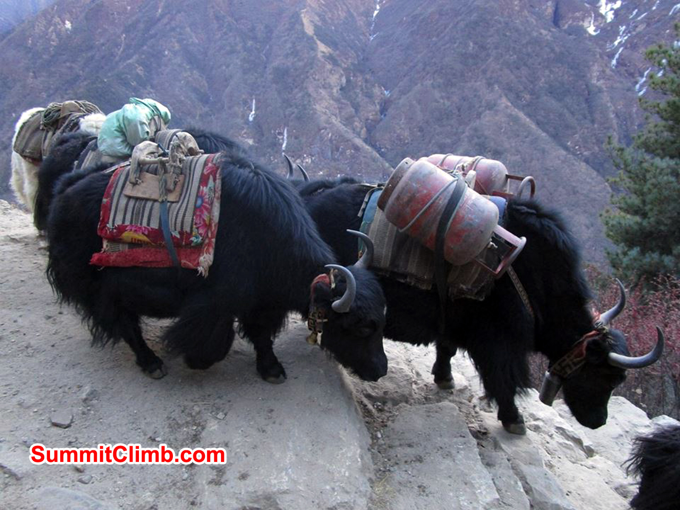 Yaks are use for carrying loads in khumbu valley. Photo Meryl Lipman