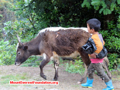 nepal volunteer trek, cow and baby