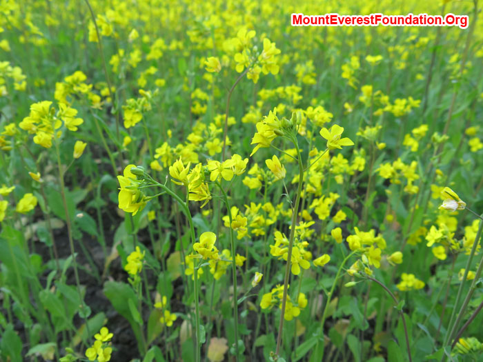 Soyabean Flower. Photo Daniela Milea